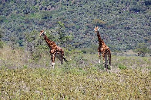 Rothschild Giraffes GF#009