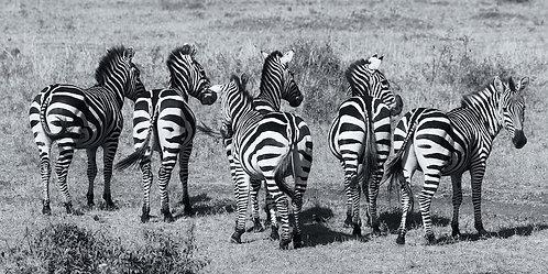 Zebras (bw) (2:1) #ZB004