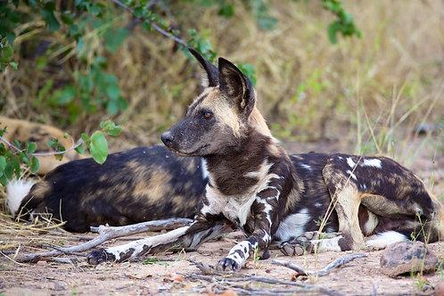Resting Wild Dog #DV006