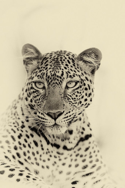 Leopard (Katavi) #LP012