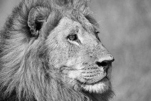 Male Lion In Monochrome