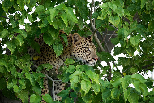 Moremi - Leopard in the tree #LP009