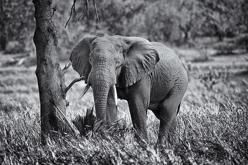 Elephant (Katavi) EP#015