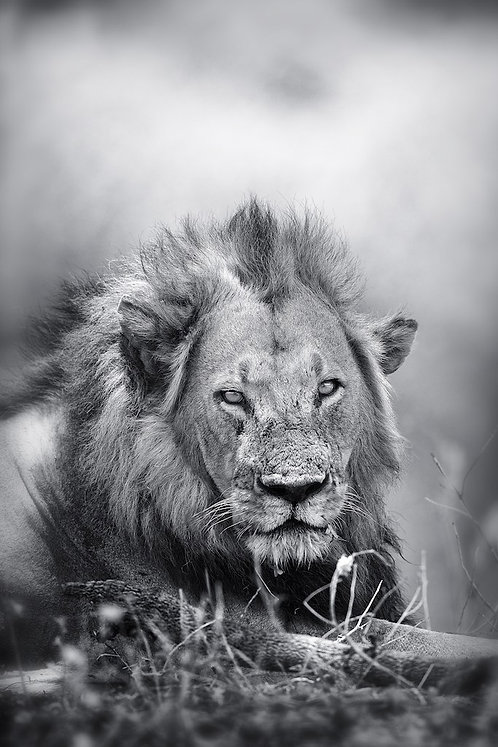 Male Lion (Katavi) (bw) #LW0024