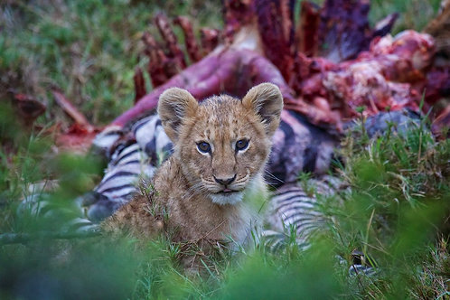 Lion Cub in front of prey #LW002