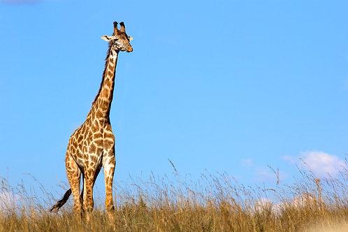 Maasai Mara - Maasai Giraffe #DT030
