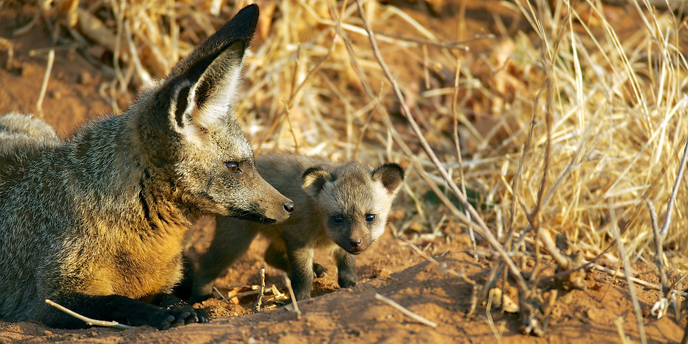 Ruaha Bat Eared Fox Puppies