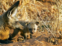 Ruaha (Tanzania) Bat Eared Fox Puppies