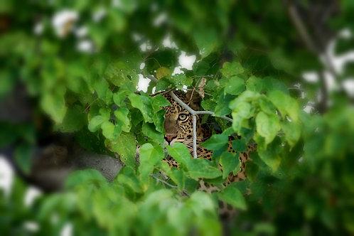 Moremi - Hidden Leopard #LP001