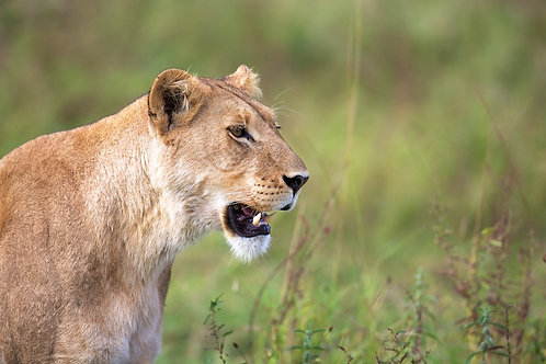 Lioness at Khwai River #LW004