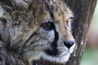 Geparden/Cheetahs