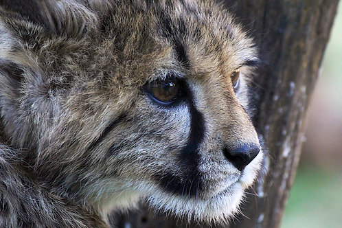 Young Cheetah #CT001