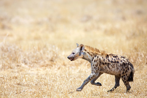 Ruaha - Hyena on the run #DV012