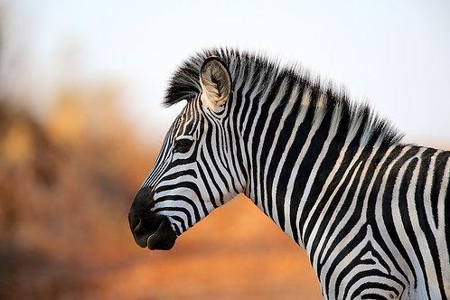 Ruaha - Zebra #ZB013