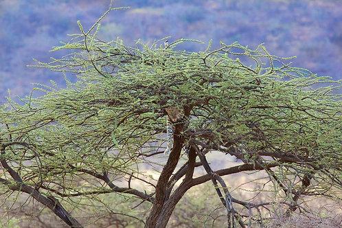 Samburu - Leopard in tree #LP006