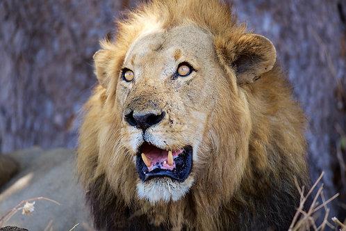 Male Lion in Katavi NP #LW0019
