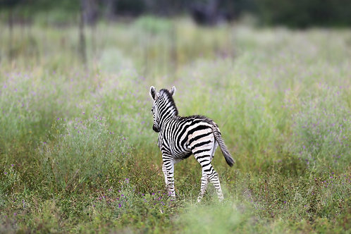 Lonely Zebra Baby