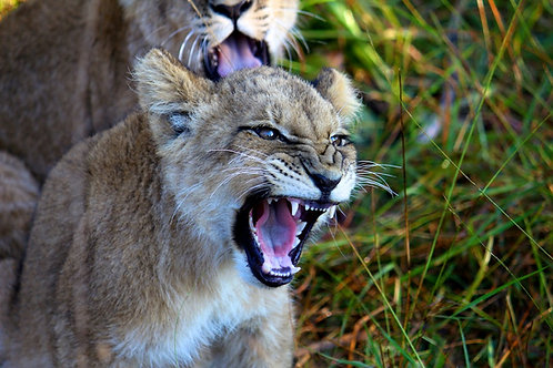 Angry Lion Cub #LW007