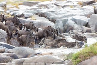 Migration Safari / Unusual River Crossing
