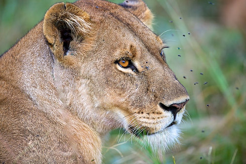Lioness surrounded by flies #LW0016