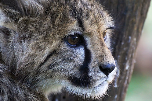 Cheetah Youngster