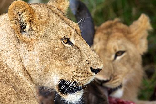 Savute - Lion Pride #DT006