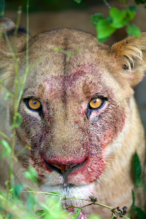 Lioness With Blood Face
