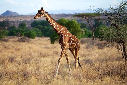 Reticulated Giraffe GF#010