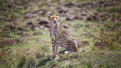 Mara Cheetah (16:9) #CT005