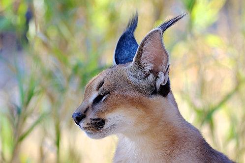 Caracal Beauty