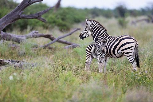 Savute - Zebra With Baby #ZB008