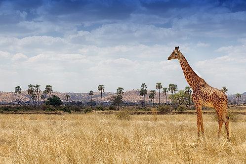 Ruaha - Giraffe GF#008
