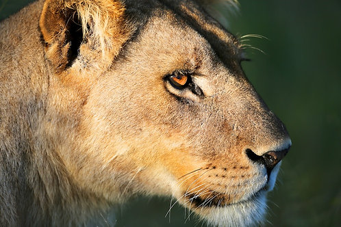 Lioness touched by the sun #DT004