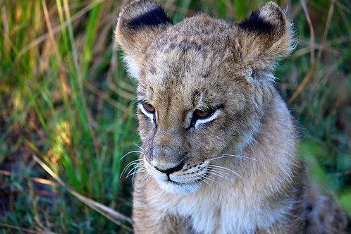 Musing Lion Cub #LW0011