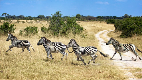 Running Zebras (16:9) #ZB005