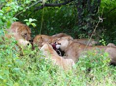 Khwai (Botswana) Update Lion Kill