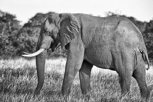 Hwange - Elephant Bull (bw) EP#007