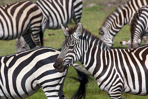 Serengeti - Zebras #ZB003