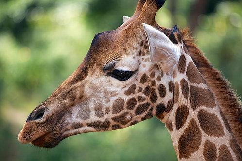 Maasai Giraffe GF#013