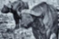 Wasserbüffel/Water buffalo