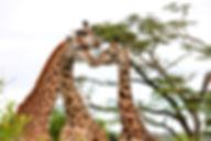 Giraffen/Giraffes