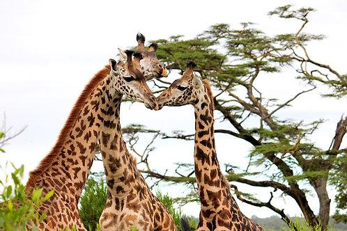 Three Giraffes #DT029