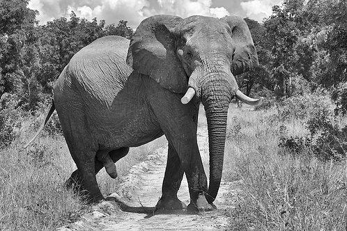 Hwange - Elephant (bw) EP#008