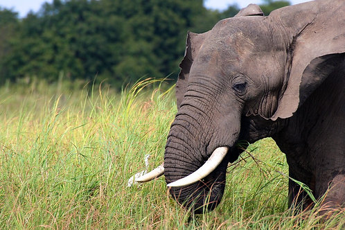 Zambezi River - Elephant EP#004