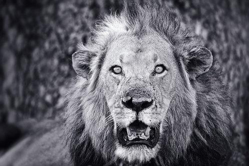 Male Lion (Katavi) (bw) #LW0025