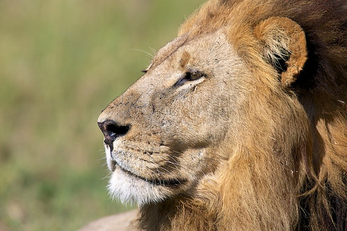 Moremi Male Lion #LW003