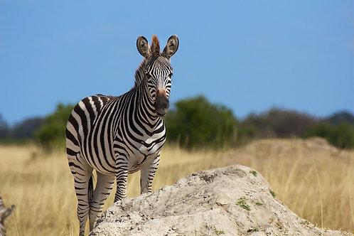 Hwange - Zebra #ZB012