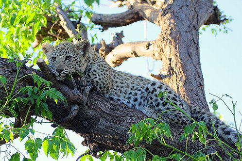 Young Leopard on a tree #LP002