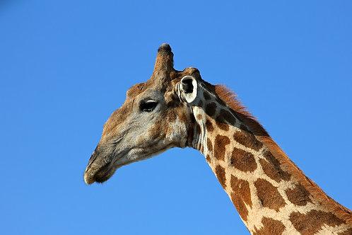Etosha - Giraffe GF#005