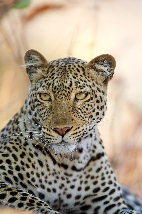 Leopard (Katavi) #LP010
